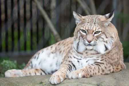 lince rojo: Bobcat - Lynx rufus