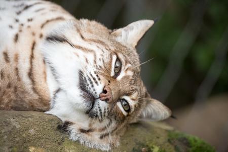 lince: Bobcat - Lynx rufus