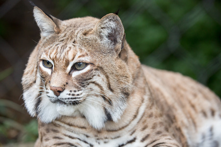 bobcat: Bobcat - Lynx rufus