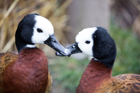 two faced: White-faced Whistling Ducks, Dendrocygna viduata