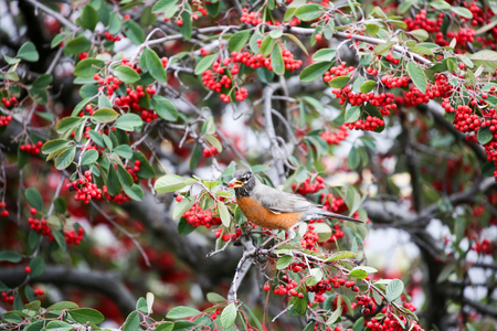 American Robin, Turdus migratorius, feeds on toyon berries Stock Photo