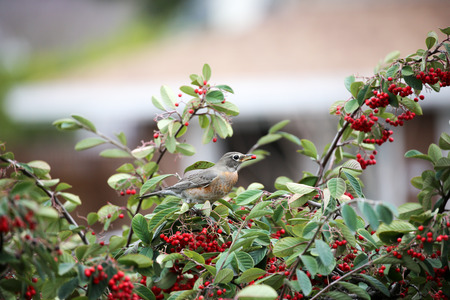 turdus: American Robin, Turdus migratorius, feeds on toyon berries Stock Photo