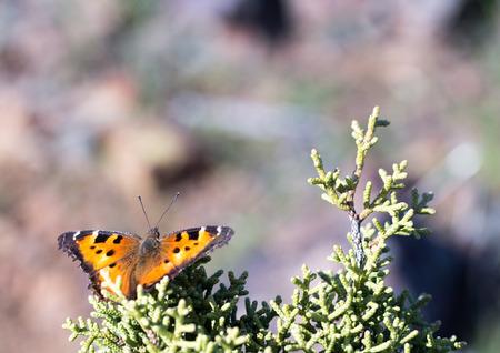 hoary: Hoary Comma Polygonia gracilis butterfly feeds on tree sap