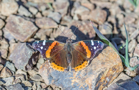 admiral: Red Admiral Vanessa atalanta butterfly perched on a rock