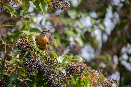 cinnamomum: American Robin, Turdus migratorius, feeds on black berry-like fruit of Cinnamomum Camphora tree