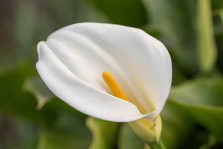 Calla kwiat lilii - Zantedeschia Zdjęcie Seryjne