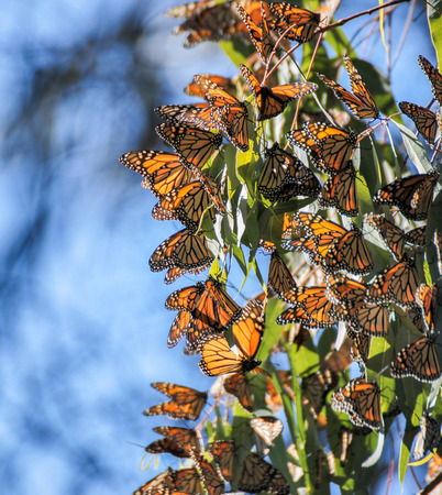 eucalyptus trees: Monarchs cluster in the eucalyptus trees at the Natural Bridges State Park in Santa Cruz
