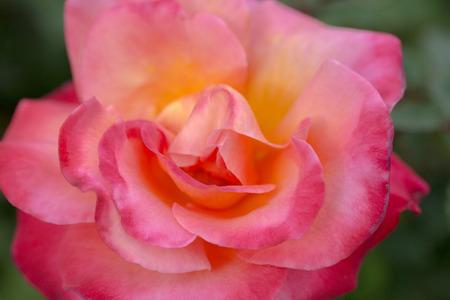 rosa: Damask rose - Rosa damascena Stock Photo