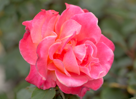 Damask rose - Rosa damascena Stock Photo