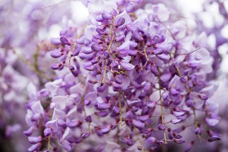 wistaria: Wisteria close-up in springtime