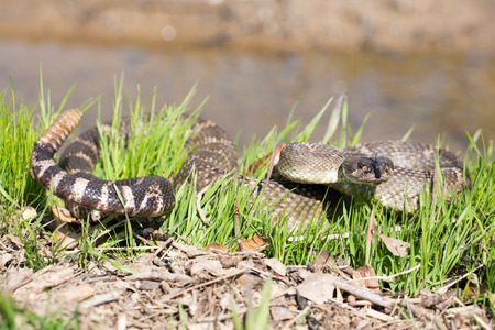 forked tail: Northern Pacific Rattlesnake - Crotalus oreganus