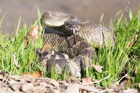 serpiente de cascabel: Pac�fico Norte de cascabel - Crotalus oreganus oreganus