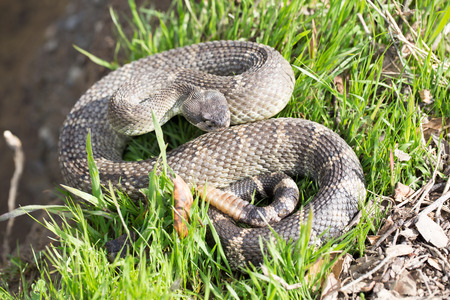 serpiente de cascabel: Pacífico Norte de cascabel - Crotalus oreganus oreganus