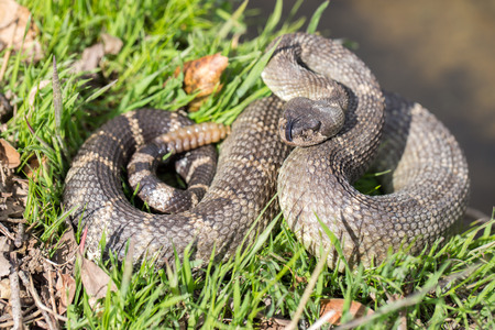 rattlesnake: Northern Pacific Rattlesnake - Crotalus oreganus oreganus
