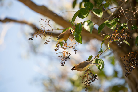 cinnamomum: Cedar waxwing, Bombycilla cedrorum, feeding on black berry-like fruit of Cinnamomum Camphora tree. Stock Photo