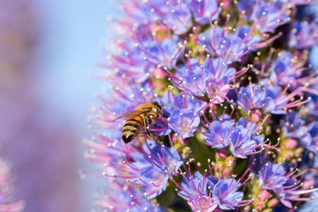 echium: Bee (Anthophila) on Pride of Madeira (Echium Candicans) flower