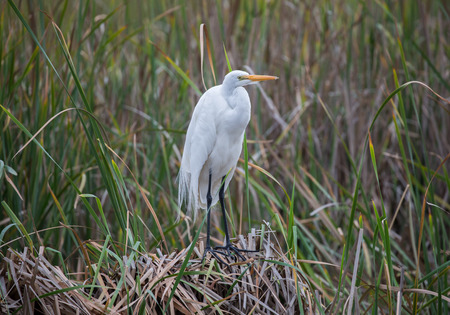 alba: Great Egret - Ardea alba Stock Photo