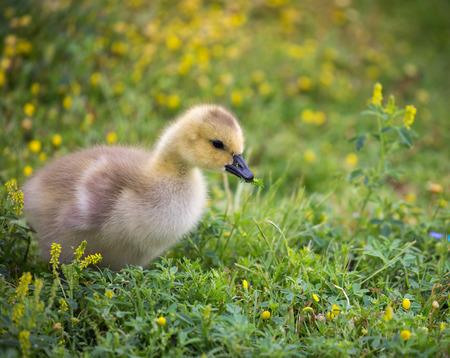branta: Canada Goose - Branta Canadensis, gosling Stock Photo
