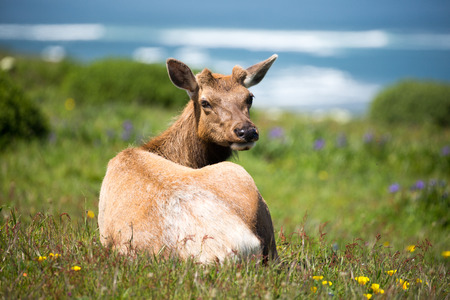 cervus: Tule Elk Cow - Cervus canadensis nannodes, Point Reyes National Seashore, California