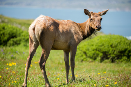 canadensis: Tule Elk Cow - Cervus canadensis nannodes, Point Reyes National Seashore, California