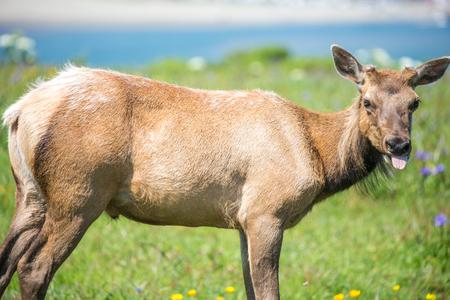 cow tongue: Tule Elk Cow - Cervus canadensis nannodes, Point Reyes National Seashore, California
