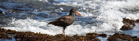 conspicuous: Black Oystercatcher - Haematopus bachmani Stock Photo