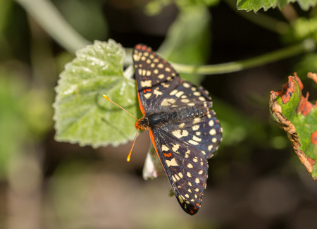 variable: Variable Checkerspot, Euphydryas chalcedona, perched on a leaf.