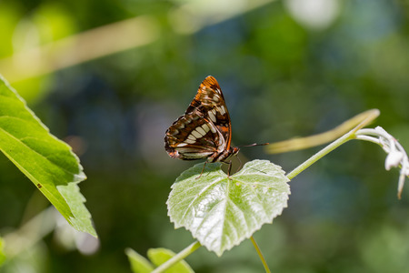 territorial: Lorquins admiral - Limenitis lorquini, closed wings, perched on a leaf, closed wings Stock Photo