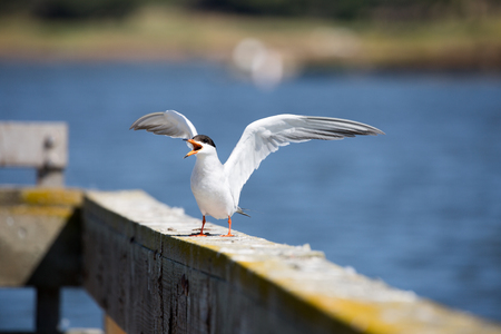 forster: Forsters tern - Sterna forsteri, adult breeding, wings spread Stock Photo