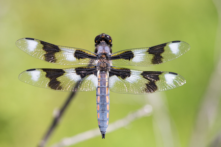 libellula: Eight-spotted Skimmer - Libellula forensis, adult, male Stock Photo