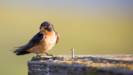 forked tail: Barn Swallow (Hirundo rustica) perched on wooden bar