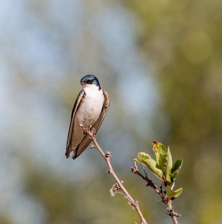 Tree Swallow - Tachycineta bicolor, adult, male Banco de Imagens