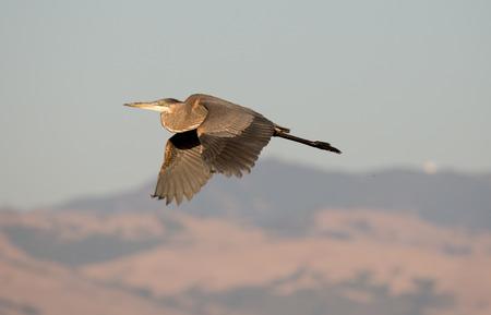 herodias: Great Blue Heron (Ardea Herodias) in flight