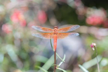 libellula: Flame (firecracker) Skimmer - Libellula saturata dragonfly