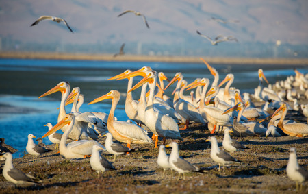 pelicans: American White Pelicans and California Gulls perched in levee