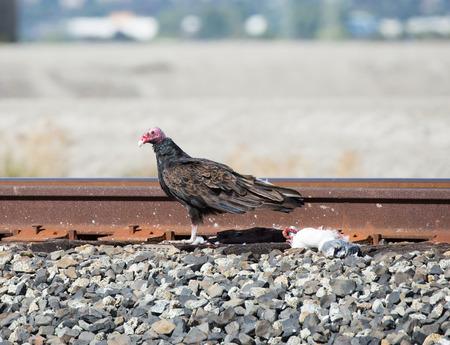 aura: Bird with prey. Turkey Vulture - Cathartes aura, Alviso, CA