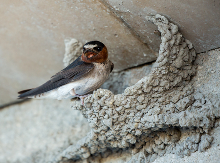 forked tail: Barn Swallow (Hirundo rustica) on its Remarkable Nest