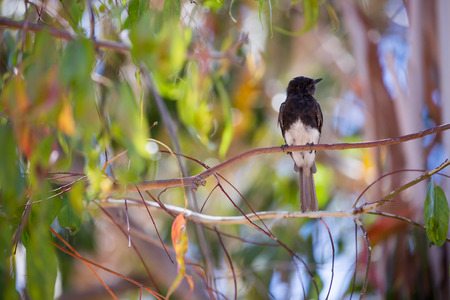 Black Phoebe (Sayornis nigricans) perched on a tree branch