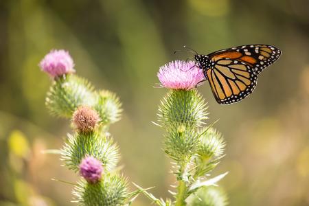 plexippus: Monarch butterfly - Danaus plexippus. Monarch butterfly feeding on a common thistles flower nectar.