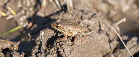 camouflaged: American Bullfrog - Lithobates catesbeianus. Santa Clara County, California, USA. Bullfrog camouflaged in a muddy pond.