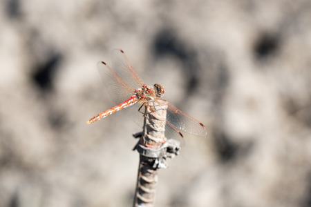 libellulidae: Variegated Meadowhawk (Sympetrum corruptum) dragonfly