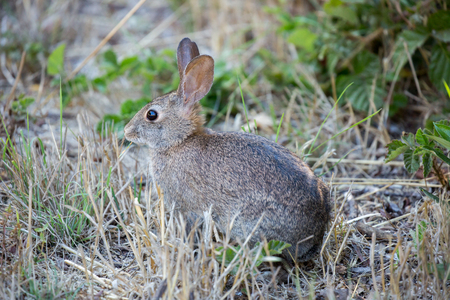 foeniculum: Alert Cottontail Rabbit - Sylvilagus. Cottontail rabbit eating cautiously in the meadows. Stock Photo