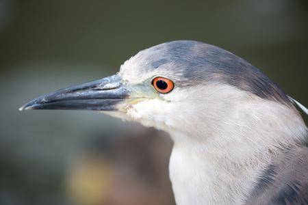 stocky: Black-Crowned Night-Heron, Nycticorax nycticorax, close-up. avian, stocky, bird, wild, nature, black, heron, gray, crowned, wildlife, side view, short-necked, nycticorax, close-up, headshot, portrait, macro. Stock Photo
