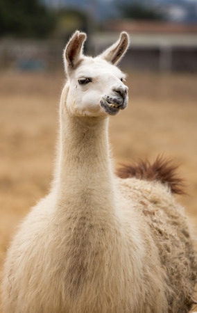 domesticated: Llama - Lama glama, Portrait. The llama (Lama glama) is a domesticated South American camelid, widely used as a meat and pack animal by Andean cultures since the Pre-Columbian era.