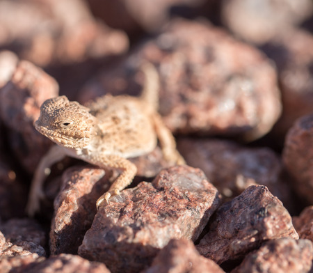 horned frog: Desert Horned Lizard, horny toads - Phrynosoma platyrhinos. The desert horned lizard (Phrynosoma platyrhinos) is a species of phrynosomatid lizard native to western North America. They are often referred to as horny toads, although they are not toads, b
