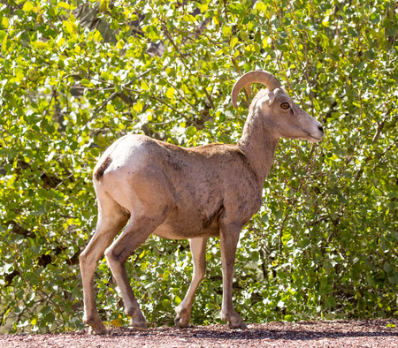 canadensis: Bighorn Sheep - Ovis canadensis nelson. Zion National Park, Utah, USA Stock Photo