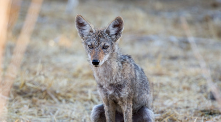crouching: Close up of young coyote (Canis latrans) crouching in wild grass. Stock Photo