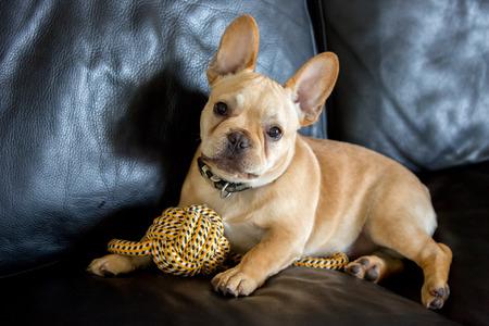 Playful French Bulldog Puppy