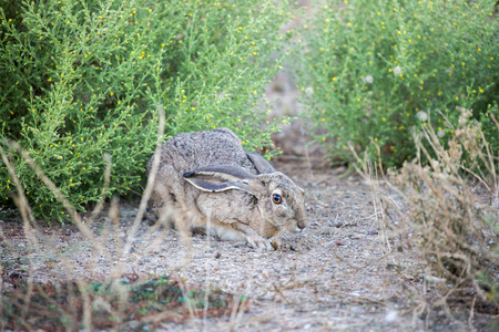 Black-tailed Jackrabbit, also known as American desert hare, hiding Фото со стока