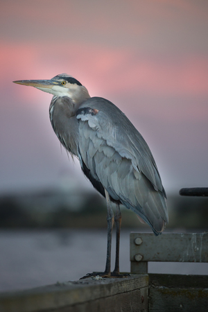 Great Blue Heron close-up at sunset. Shoreline Park, Mountain View, California, USA.